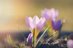 Beautiful saffron blooming in the garden in spring Stock Images