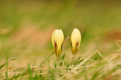 Beautiful saffron flowers blossom in spring Stock Photos