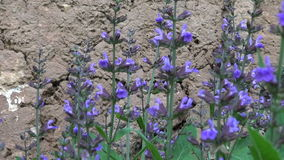 Beautiful sage (Salvia officinalis) medical plant blossoms in garden near barn wall stock video