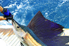 Beautiful sailfish. Shot of a beautiful sailfish on the ocean Stock Images