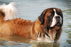 A beautiful Saint Bernard standing in the water as if he was posing. Royalty Free Stock Photo
