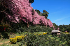 Beautiful Sakura Stock Image
