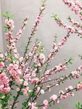 Beautiful sakura bloom in city street. Pink sakura cherry flowers on young tree branches on background of gray wall. Hello spring. Happy Mothers day stock image