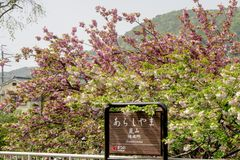 Beautiful Sakura blossom at Arashiyama station Stock Image