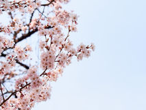Beautiful Sakura blossom with blue sky 1 Royalty Free Stock Photos