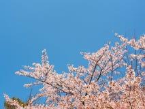 Beautiful Sakura blossom with blue sky 2 Royalty Free Stock Photo