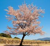 Beautiful Sakura blossom with blue sky 3 Royalty Free Stock Photos