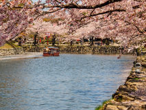 Beautiful Sakura blossom in Hikone, Japan 1 Stock Photography