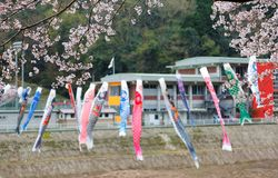 Beautiful Sakura blossoms and colorful Japanese Koinobori flags  flags of flying carp Royalty Free Stock Photo