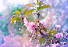 Beautiful Sakura Branch on the Tree Blooming Background Stock Images