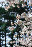 Beautiful Sakura in Canada royalty free stock photo