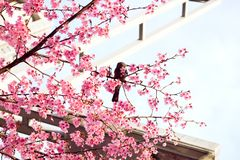 Beautiful Sakura - Cherry Blossom royalty free stock image