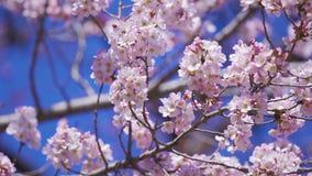 Sakura, Cherry Blossom flower in spring season
