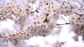 Sakura, cherry blossom flower with sunlight in spring season. Beautiful sakura, cherry blossom flower with sunlight in spring season stock video footage