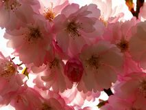 Beautiful Sakura cherry blossom in full bloom stock photos