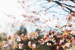 Beautiful sakura or cherry blossom with soft focus on blue sky background. Spring nature, sunny weather and beautiful flowers of sakura or cherry tree royalty free stock images