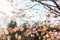 Beautiful sakura or cherry blossom with soft focus on blue sky background. Spring nature, sunny weather and beautiful flowers of sakura or cherry tree stock photography