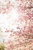 Beautiful sakura or cherry blossom with soft focus on blue sky background. Spring nature, sunny weather and beautiful flowers of sakura or cherry tree stock photo