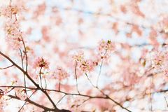 Beautiful sakura or cherry blossom with soft focus. Blue sky background. Spring nature, sunny weather and beautiful flowers of sakura or cherry tree stock photo