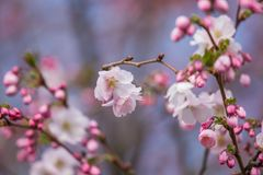 A beautiful sakura cherry blossoms in a sunny spring day. Cherry flowers in natural habitat. Sakura growing in park. stock photo