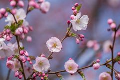 A beautiful sakura cherry blossoms in a sunny spring day. Cherry flowers in natural habitat. Sakura growing in park. royalty free stock images