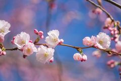 A beautiful sakura cherry blossoms in a sunny spring day. Cherry flowers in natural habitat. Sakura growing in park. stock photography
