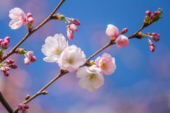 A beautiful sakura cherry blossoms in a sunny spring day. Cherry flowers in natural habitat. Sakura growing in park. royalty free stock photo