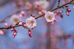 A beautiful sakura cherry blossoms in a sunny spring day. Cherry flowers in natural habitat. Sakura growing in park. royalty free stock image