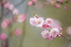 A beautiful sakura cherry blossoms in a sunny spring day. Cherry flowers in natural habitat. Sakura growing in park. stock image