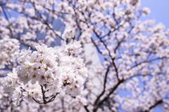 Beautiful Sakura Cherry Blossoms in Tokyo, Japan Royalty Free Stock Photography