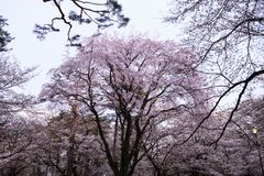 Beautiful Sakura Cherry Blossoms in Tokyo, Japan Stock Photo