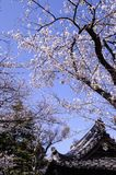 Beautiful Sakura Cherry Blossoms in Tokyo, Japan Royalty Free Stock Image