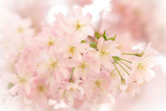 Beautiful sakura cherry tree blossoms Royalty Free Stock Photography