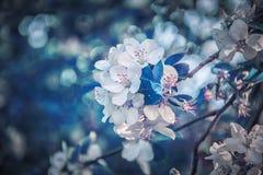 Beautiful sakura flower cherry blossom background. Greeting card template. Shallow depth. Soft dark blue toned. Spring magic stock images