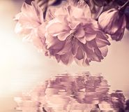 Beautiful sakura flower cherry blossom macro, water reflection, sun light. Greeting card background template. Shallow depth. Soft stock photo