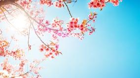 Beautiful sakura flower cherry blossom in spring. Royalty Free Stock Photography