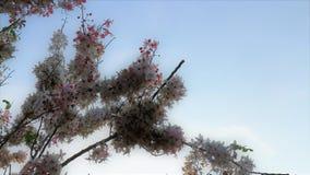 Beautiful sakura flower cherry blossom in spring. sakura tree flower on blue sky stock images