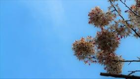 Beautiful sakura flower cherry blossom in spring. sakura tree flower on blue sky royalty free stock photos