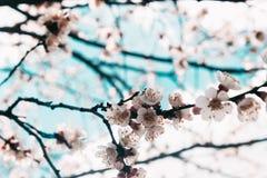 Beautiful sakura flower cherry blossom in spring. sakura tree flower on blue sky. stock photo