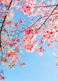 Beautiful sakura flower cherry blossom in spring. Sakura tree flower on blue sky royalty free stock photography