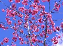 Beautiful sakura flower (pink cherry) Royalty Free Stock Image