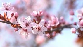 Beautiful sakura. Flowering pink cherry.