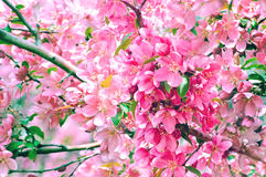 Beautiful sakura flowers Royalty Free Stock Photos