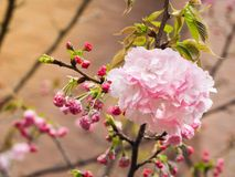 Beautiful Sakura full blooming at the season. Osaka, Japan Stock Images