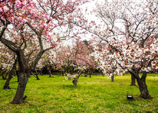 Beautiful Sakura in the garden Royalty Free Stock Images