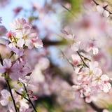 Beautiful Sakura Garden in Taipei, Taiwan stock photo