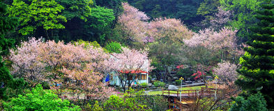 Beautiful sakura garden in taiwan Stock Photography