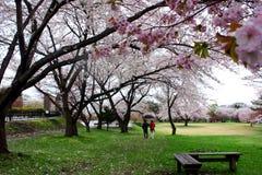Beautiful sakura. Photo was taken in Muroran of hokkaido royalty free stock photos