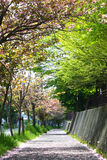 Beautiful sakura. Photo was taken in Muroran of hokkaido stock photography