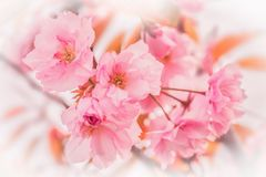 Beautiful sakura pink flower cherry blossom background. Greeting card template. Shallow depth. Soft pastel toned. Spring nature stock photo